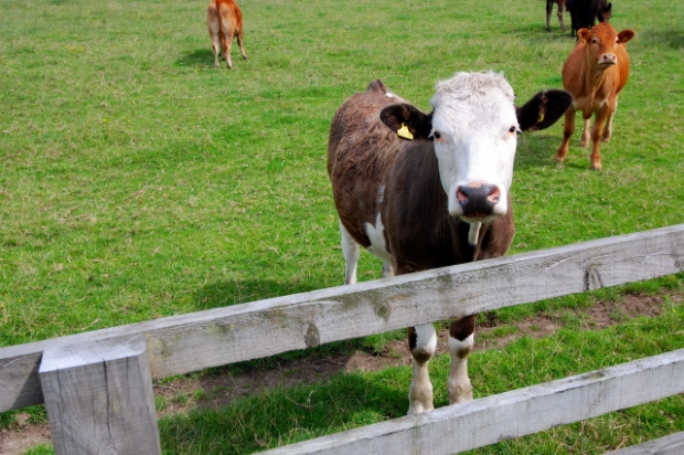 Cow and fence