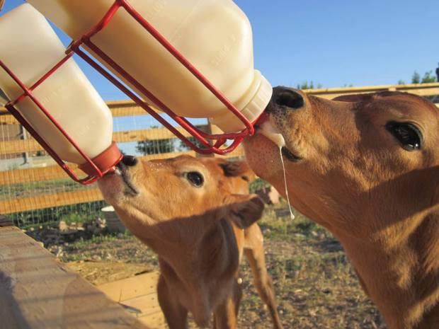 Nursing calves - photo by Shawna Weaver