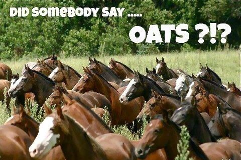 oats for horses