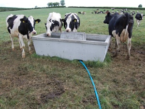 Cows around water trough