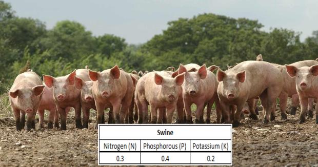 Swine manure