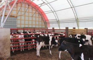 Cattle in Beef Master structure